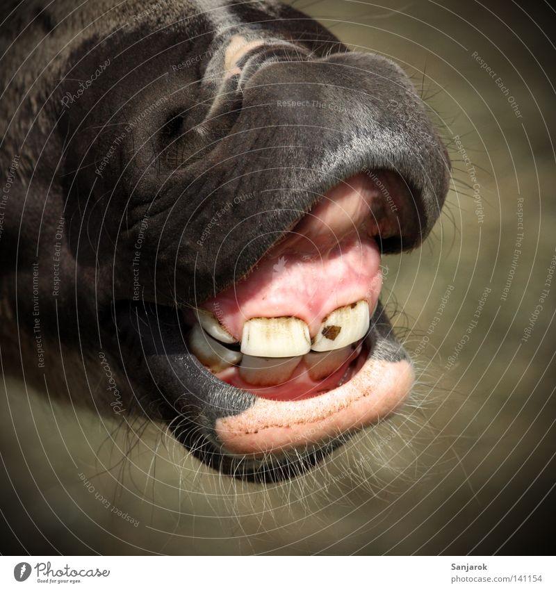 Beim Zahnarzt Pferd Zahnfleisch Bart Zahncreme Zahnbürste Angriff Defensive sprechen wiehern Schlachthof Nüstern Angst Panik Kommunizieren Säugetier Gebiss