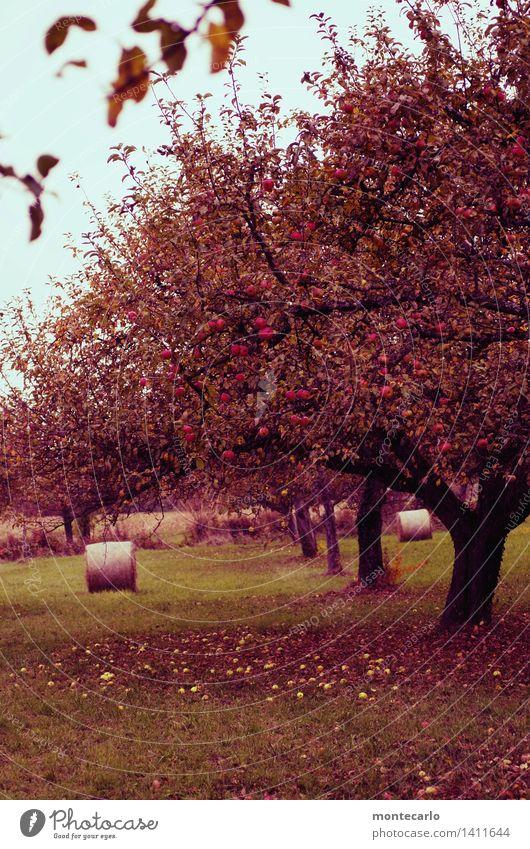 fallobst Himmel Natur alt Pflanze Baum Blatt Umwelt Blüte Herbst Wiese Gras wild Feld Erde frisch authentisch