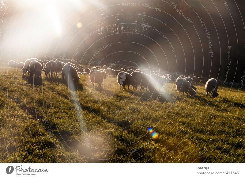 Sheep in Space Natur Schönes Wetter Wiese Tier Nutztier Schaf Tiergruppe Herde Stimmung Farbfoto Außenaufnahme Menschenleer Textfreiraum unten Abend