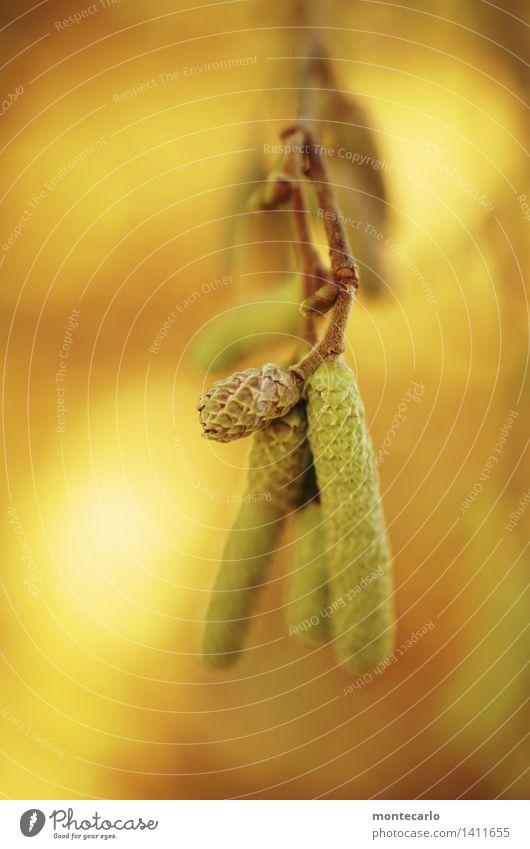 haselnusskätzchen Umwelt Natur Pflanze Sträucher Grünpflanze Nutzpflanze Wildpflanze Haselnussblatt dünn authentisch einfach frisch klein lang nah natürlich