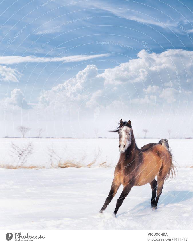 Verspieltes Pferdchen im Winter Schnee Natur Schönes Wetter Tier 1 Gefühle Freude Kraft Aktion Pferdestall Araber Vollblut Himmel spaßig Tierhaltung Spielen