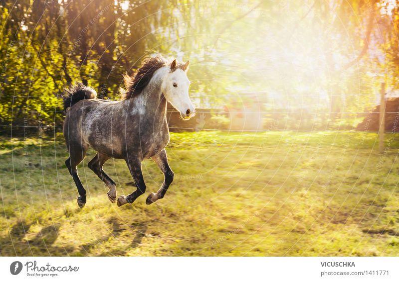 Hengst mit weißem Kopf und schwarzer Mähne Lifestyle Sommer Natur Sonnenlicht Frühling Herbst Schönes Wetter Sträucher Park Wiese Tier Pferd Design rennen