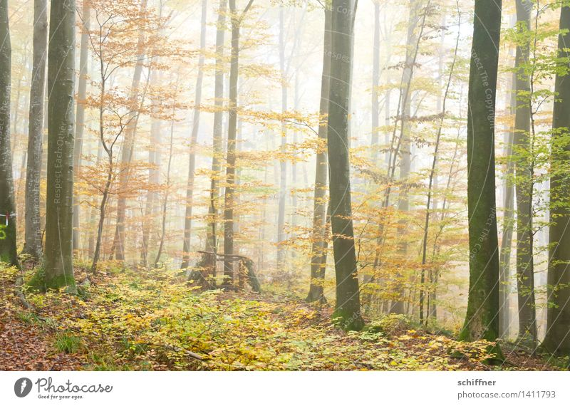 Autumn Leaves Natur Herbst Nebel Baum Sträucher Blatt Wald gelb grün Herbstwald Baumstamm Herbstlaub Nebelwald Außenaufnahme Menschenleer