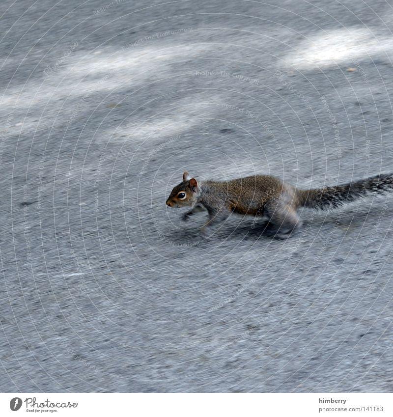 photobeagle Eichhörnchen Tier Zoo laufen springen Park Wildtier süß Kopf Asphalt Straße Beton Bodenbelag Motivation Säugetier Frühling Garten angshase rennen