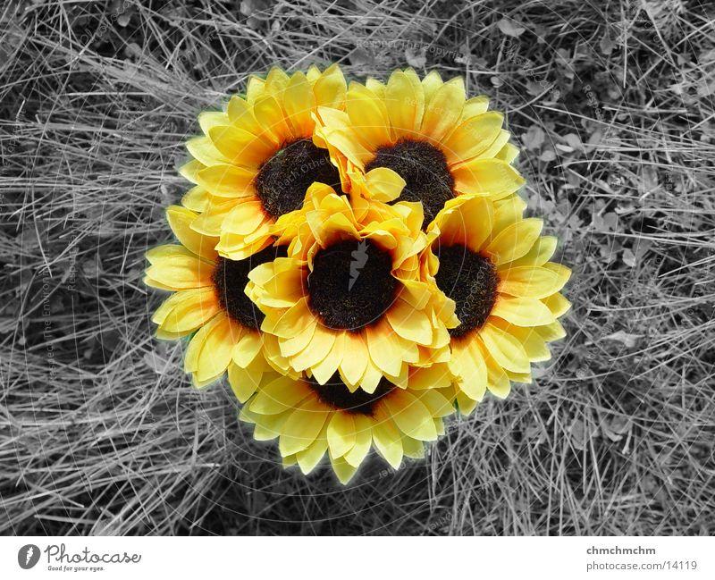 Sonnenblume(n) gelb Gras Frühling