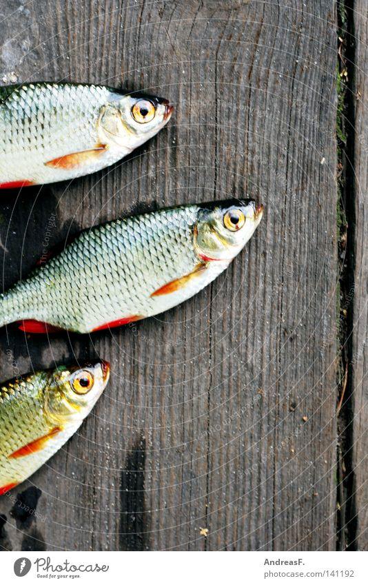 Anglerglück Fischereiwirtschaft fischig Fischmarkt Köderfisch Rotauge Karpfen Kieme Holz schleimig fischgeruch rotfeder Tod Angelköder schuppig Tiergesicht