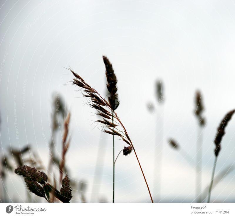 Grasgeflüster Himmel Sommer Erholung Wolken Blüte Wiese Gras Wind laufen Pause Stengel Samen Ähren Getreide Lebensraum Flüstern