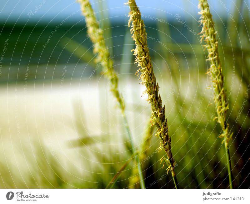 Küste Gras Strand Meer Ostsee Natur Ähren grün blau Umwelt Ferien & Urlaub & Reisen Erholung Himmel Pflanze Farbe Sommer strandhafer rispe