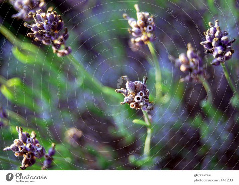 meer der düfte grün Pflanze Blume Sommer Blüte Feld Wachstum violett Duft Frankreich Geruch Erdöl Lavendel Seife Heilpflanzen Parfum