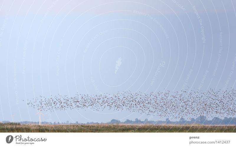 Spur der Stare Umwelt Natur Landschaft Tier Himmel Sommer Herbst Schönes Wetter Küste Ostsee Wildtier Vogel Schwarm blau grau viele Darß Windrad Farbfoto