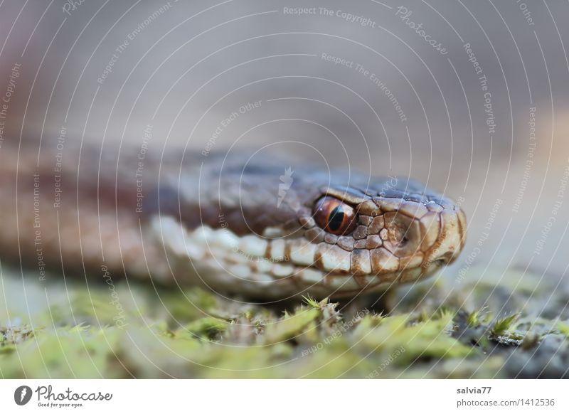 Schlangenblick Umwelt Natur Tier Erde Wald Wildtier Tiergesicht Schuppen Kreuzotter Natter 1 bedrohlich braun grau grün Wachsamkeit Perspektive Schüchternheit
