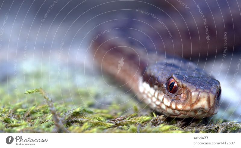 .....zu nah! Umwelt Natur Pflanze Tier Erde Moos Wald Wildtier Schlange Tiergesicht Schuppen Kreuzotter Schlangenauge 1 entdecken bedrohlich Ekel exotisch braun