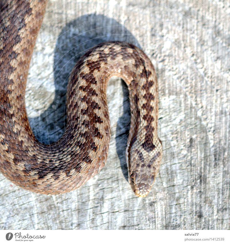 Zackenmuster Natur Tier grau braun ästhetisch gefährlich bedrohlich dünn Wachsamkeit krabbeln Schüchternheit achtsam Reptil Schlange Schuppen schleichen