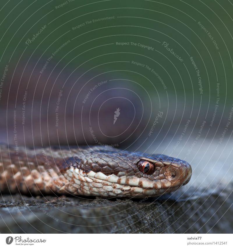 poker face Natur Tier Schlange Tiergesicht Schuppen Zoo Kreuzotter Reptil 1 beobachten Jagd bedrohlich listig braun grau grün schleichen krabbeln Giftschlange