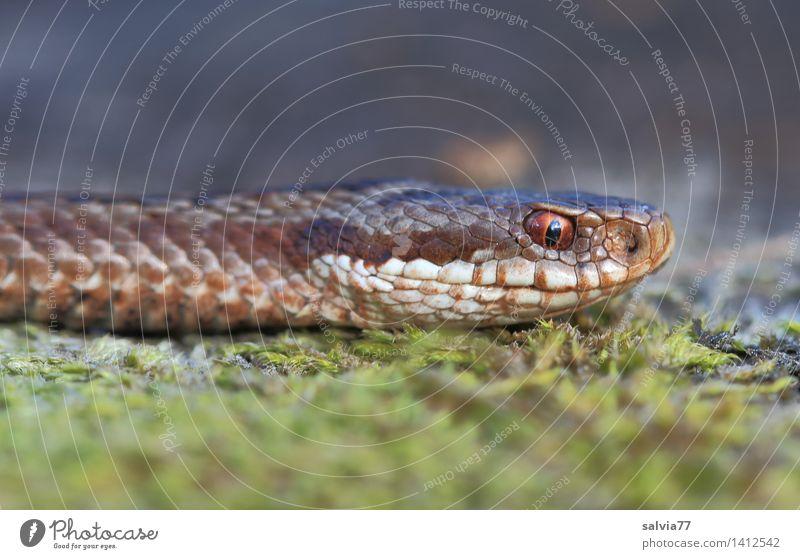 lautlos Natur Tier Erde Moos Wald Moor Sumpf Schlange Tiergesicht Schuppen Kreuzotter Reptil 1 beobachten bedrohlich listig braun grau grün Wachsamkeit