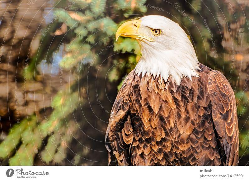 Beobachtete Umgebung des Weißkopfseeadlers Tier Vogel frei stark wild braun gelb weiß Kraft Amerikaner Beautyfotografie Tierwelt amerika Schnabel schließen Kamm