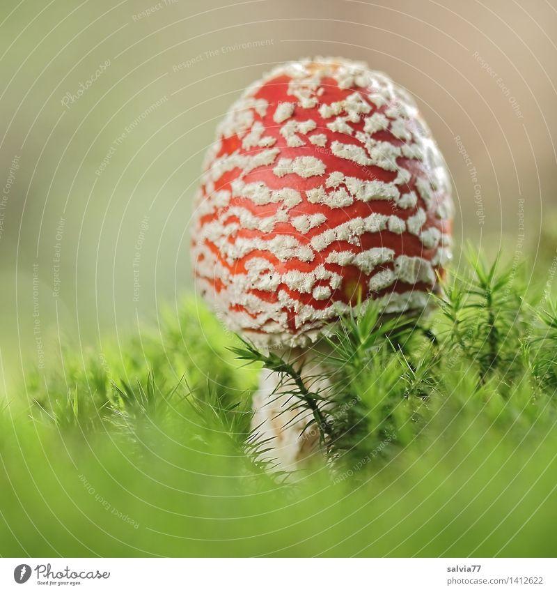 Giftzwerg Umwelt Natur Tier Erde Herbst Pflanze Moos Fliegenpilz Pilz Pilzhut Wald ästhetisch exotisch natürlich niedlich positiv schön weich grün rot weiß