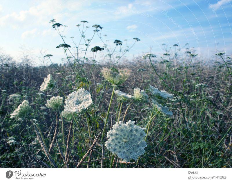 DoppelNull an Doppeldolde Natur Pflanze Sommer Wiese Gras Blüte Feld Idylle Wachstum Schönes Wetter Blühend Romantik durcheinander ländlich Botanik bleich