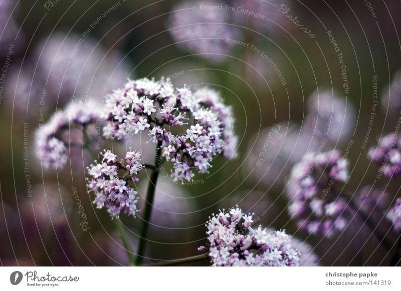 Bienchen und... Natur Pflanze Sommer Blume Erholung Wiese Blüte Zufriedenheit Feld Wachstum Romantik Blühend Duft Geruch ködern Lavendel
