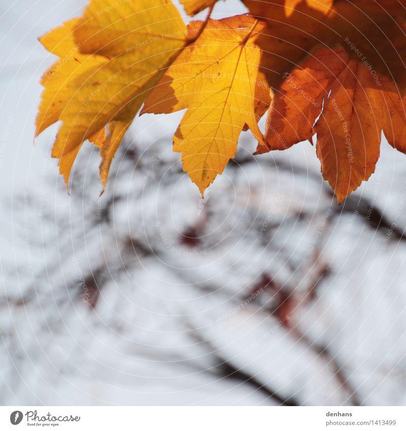 Herbstlaub Natur Pflanze Himmel Klima Baum Blatt Park Wald alt natürlich braun gelb orange Traurigkeit Trauer Tod Einsamkeit Pause Umwelt Verfall