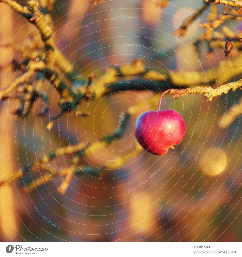 letzter Apfel Frucht Bioprodukte Vegetarische Ernährung Gesunde Ernährung Garten Erntedankfest Gartenarbeit Landwirtschaft Forstwirtschaft Natur Landschaft Tier