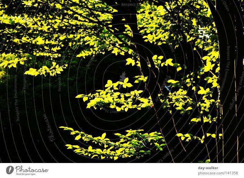 Biologischer Leuchtstoff Baum Blatt Photosynthese Licht Sonnenstrahlen Pflanze glänzend Reifezeit Blattgrün Sommer Wald glühen Park Ast Zweig Schatten