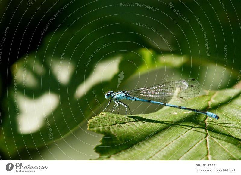 Die Libelle fragt sich wo der Elchschatten her kommt... grün blau Sommer Blatt schwarz Flügel Schönes Wetter Schattenspiel Hufeisen Azurjungfer