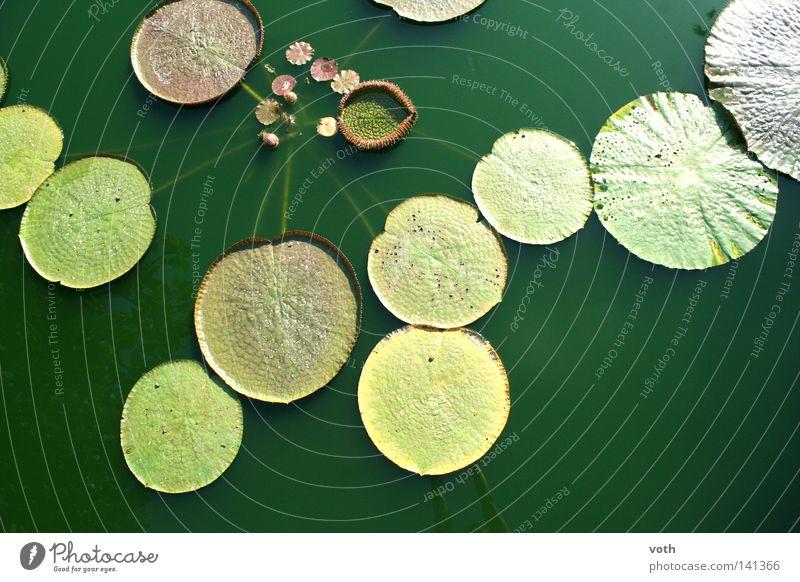 Teich biologisch Wasser Pflanze Blume Natur grün Blatt Bioprodukte