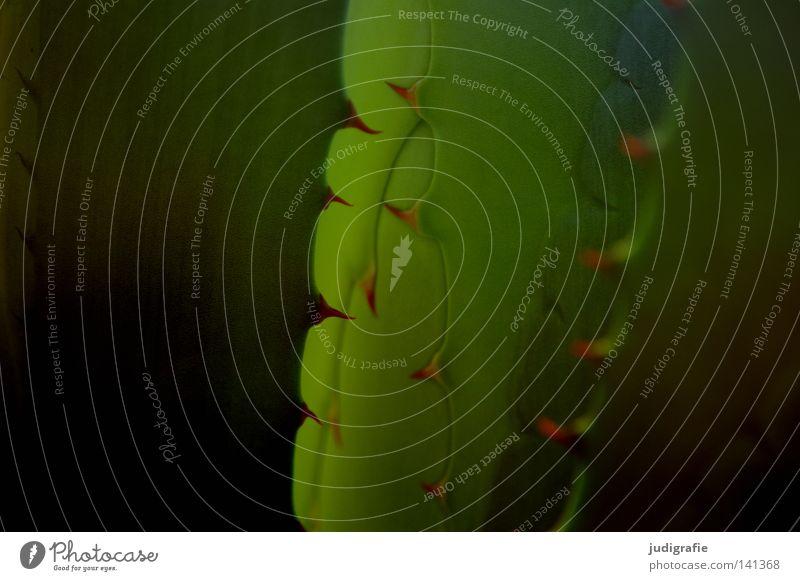 Agave Natur Wasser grün Pflanze Blatt Farbe Wüste Spitze Stachel stachelig Dorn ansammeln wehren Sukkulenten