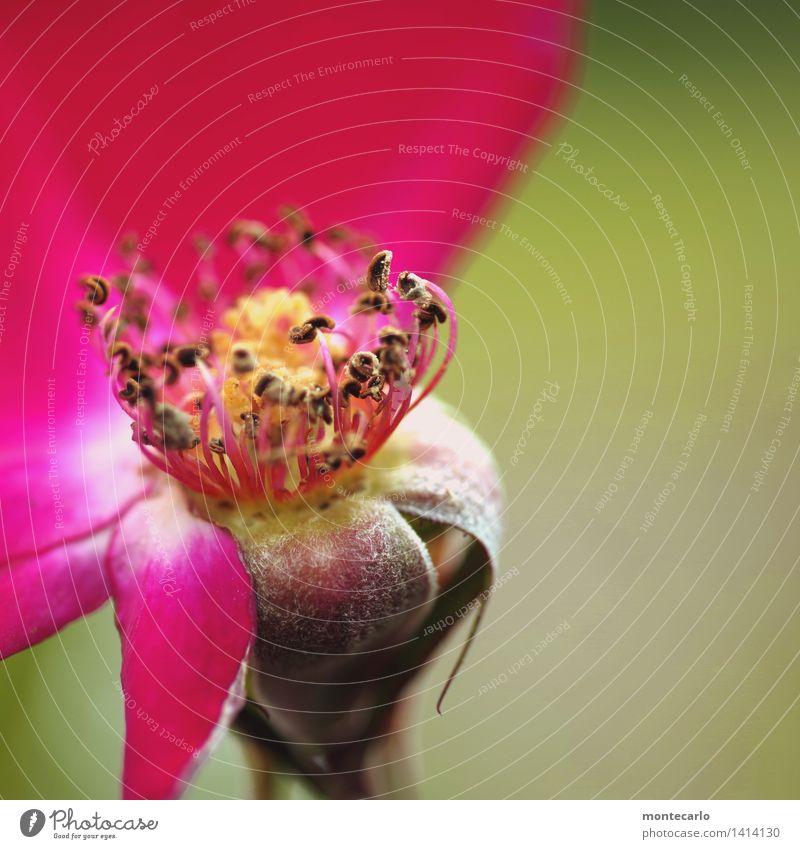 das ende naht Umwelt Natur Pflanze Herbst Blume Blatt Blüte Grünpflanze Wildpflanze Stempel alt dünn authentisch einzigartig kaputt klein natürlich rund wild