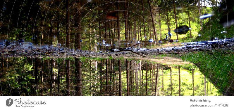 Lebensgrund Baum grün Pflanze Wald Wiese Gras Baumstamm Pfütze Spiegelbild Regenwasser Reflexion & Spiegelung Nadelbaum verkehrt Wasserspiegelung Feuchtgebiete