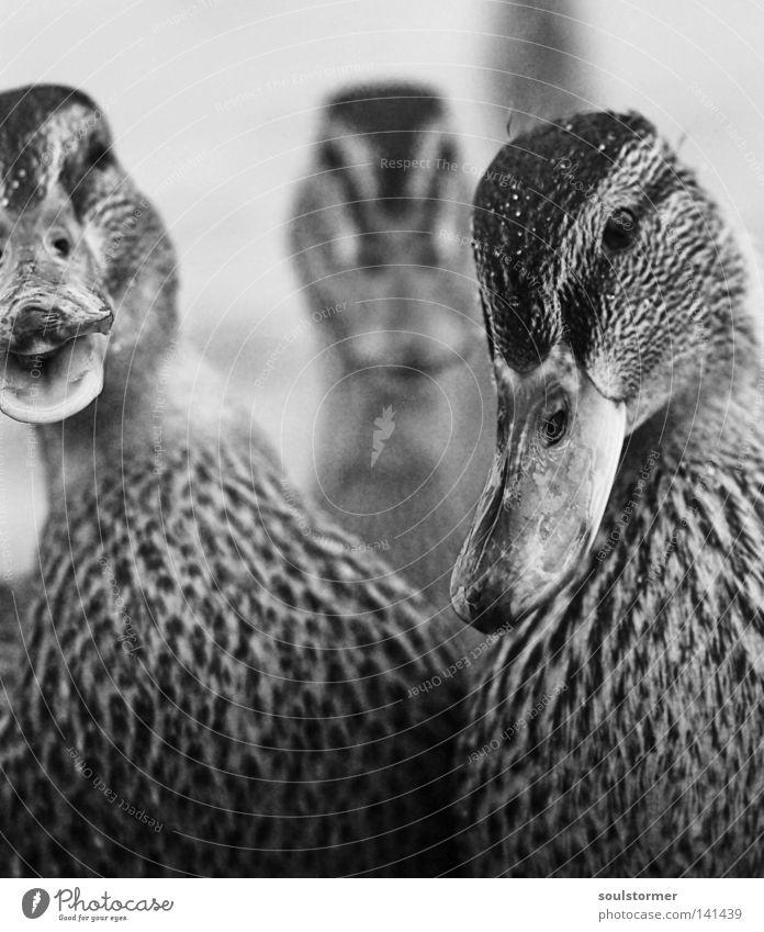 Happi Happi Ente Fluss Ernährung Appetit & Hunger füttern Vogel Feder lecker Unschärfe schwarz weiß Schnabel Kopf Tier watscheln Strand Küste