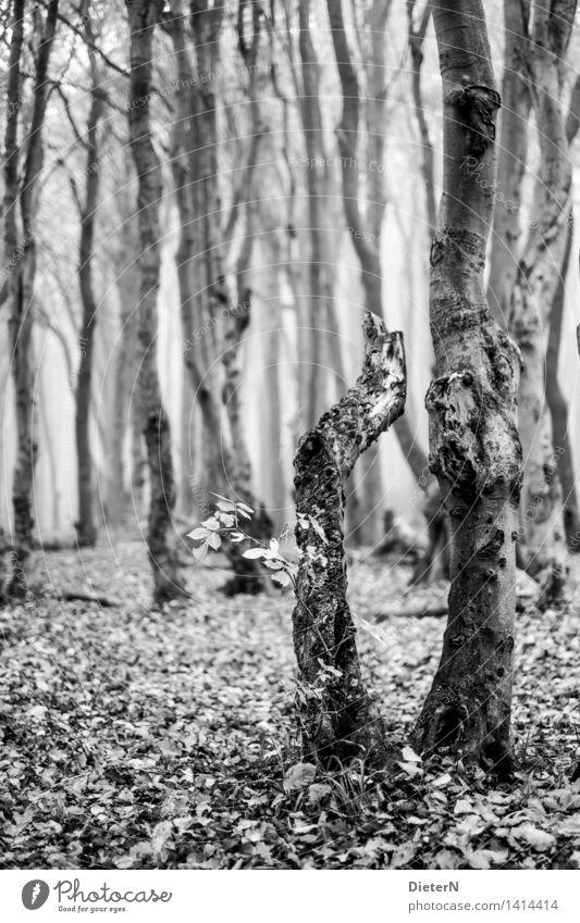 1 1/2 Natur weiß Baum Landschaft Blatt Wald schwarz Herbst grau Nebel Ostsee Mecklenburg-Vorpommern Gespensterwald Nienhagen
