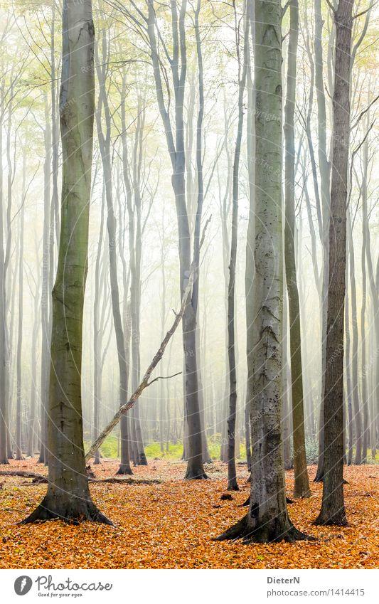 Herbstwald Nebel Baum Wald Küste Ostsee braun gelb gold weiß Gespensterwald Mecklenburg-Vorpommern Nienhagen Farbfoto mehrfarbig Außenaufnahme Menschenleer Tag