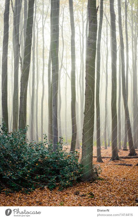 Gegenlicht Natur Landschaft Herbst Nebel Baum Sträucher Blatt Wald Ostsee braun gelb grün weiß Gespensterwald Mecklenburg-Vorpommern Nienhagen Farbfoto