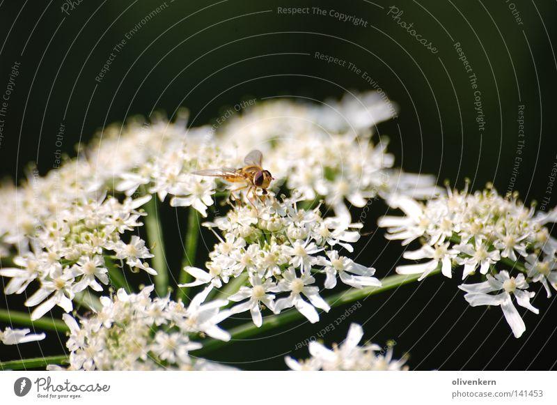Insekt auf Riesen Bärenklau Giftpflanze 2008 weiß Blume Blüte Insekt Biene Wespen Giftpflanze