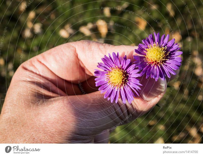 Herbstastern Natur Pflanze Blume Erholung Hand Umwelt Blüte Liebe Wiese Garten Stimmung Park Zufriedenheit Wetter Haut