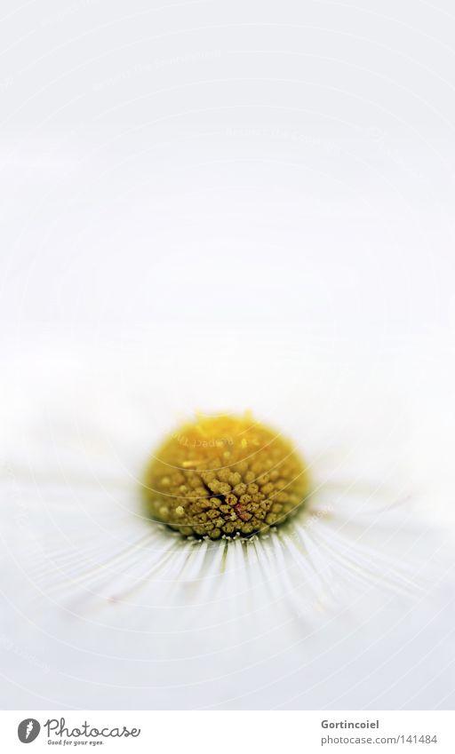 Sensation White weiß Sommer Pflanze Blume Erholung gelb Frühling Blüte Stil hell Dekoration & Verzierung Wellness rein Wohlgefühl Gänseblümchen harmonisch
