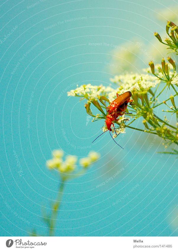 Doppelkäfer Käfer Blume Blüte Tierpaar Liebesleben Frühling Sommer Fortpflanzung Nachkommen 2 Zusammensein Freude Glück Insekt Fühler blau weiß grün braun
