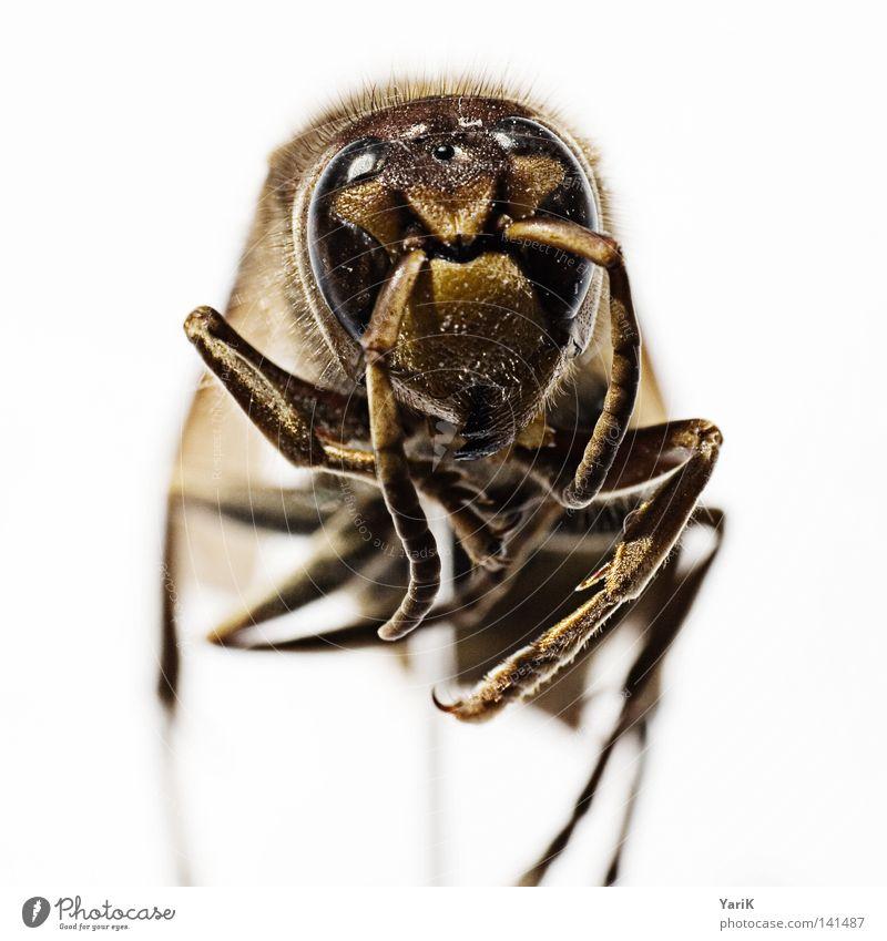 hornisse am stiel Makroaufnahme Hornissen Wespen Insekt krabbeln Fühler gefährlich klein dünn braun weiß Tiefenschärfe Nahaufnahme Detailaufnahme Kontrast Auge