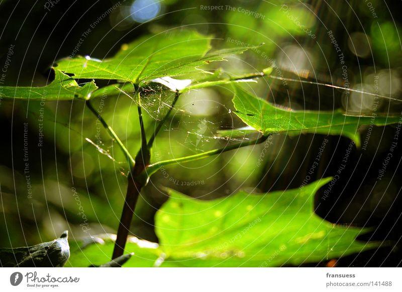 maple leaves Ahorn Blatt Sonnenstrahlen Sommer grün Spinnennetz Frieden sanft träumen sun sun beam beams forest spider spider web Glück friedlich