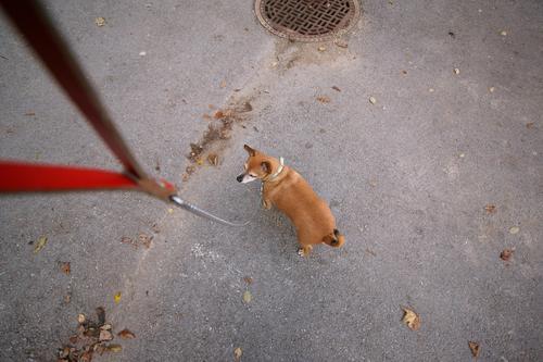 EL Chefe Hund weiß rot Tier Freude schwarz Straße Leben klein grau braun gehen Freundschaft authentisch Schnur Gelassenheit