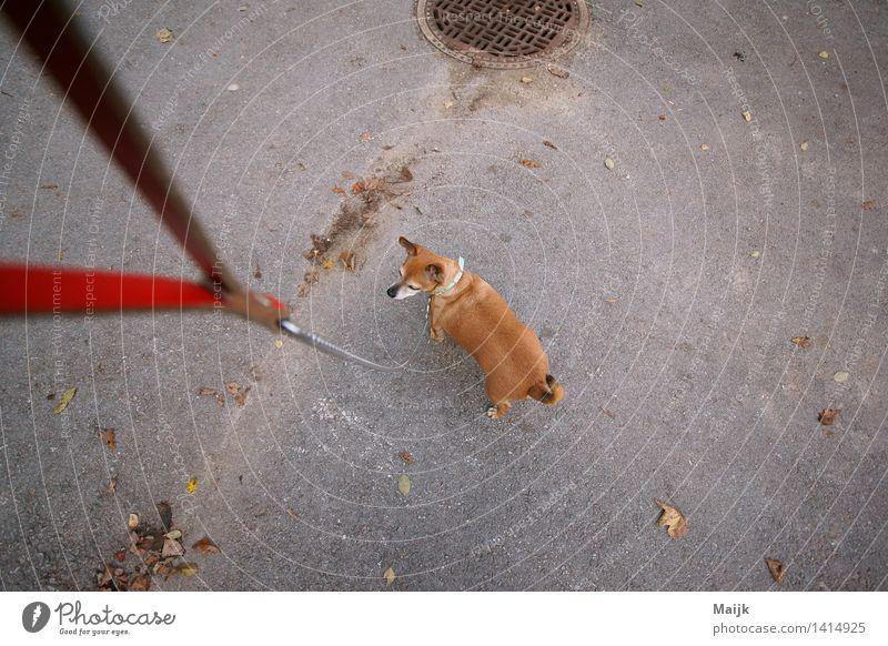 EL Chefe Straße Gully Tier Haustier Hund chiwawa 1 Hundeleine Kette Schnur gehen gut klein braun grau rot schwarz weiß Freundschaft Gelassenheit authentisch