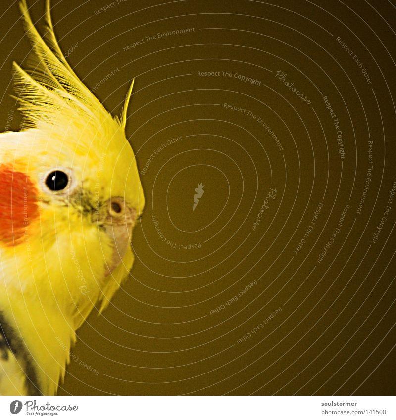 spot Vogel fliegen gefangen braun gelb rot entdecken Feder Kopf reinschauen Platzhalter Vignettierung Farbe schön Vöglein Blick Freiheit frei Simon Birr