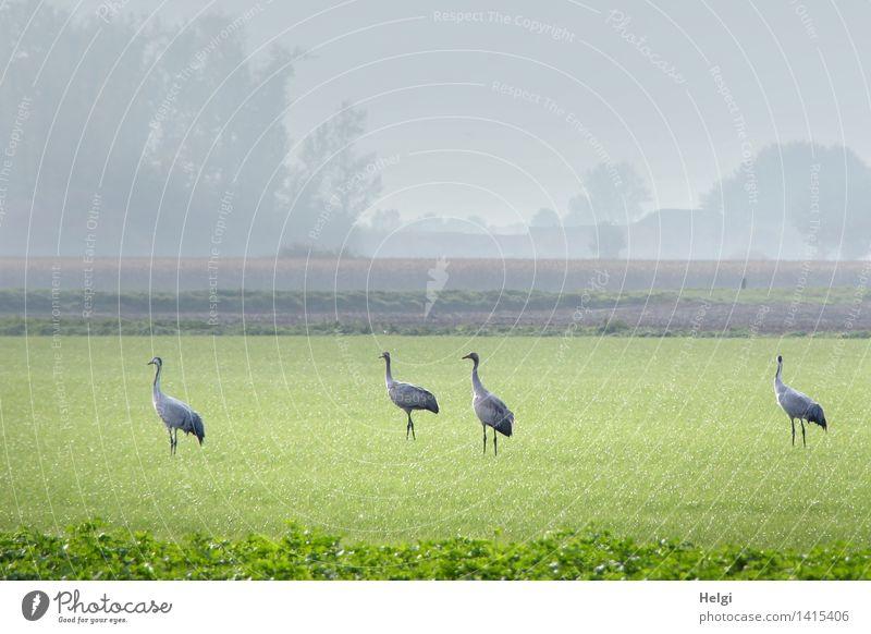 Helgiland II | Kraniche... Umwelt Natur Landschaft Pflanze Tier Herbst Nebel Gras Grünpflanze Nutzpflanze Wiese Feld Wildtier Vogel 4 Tiergruppe Blick stehen