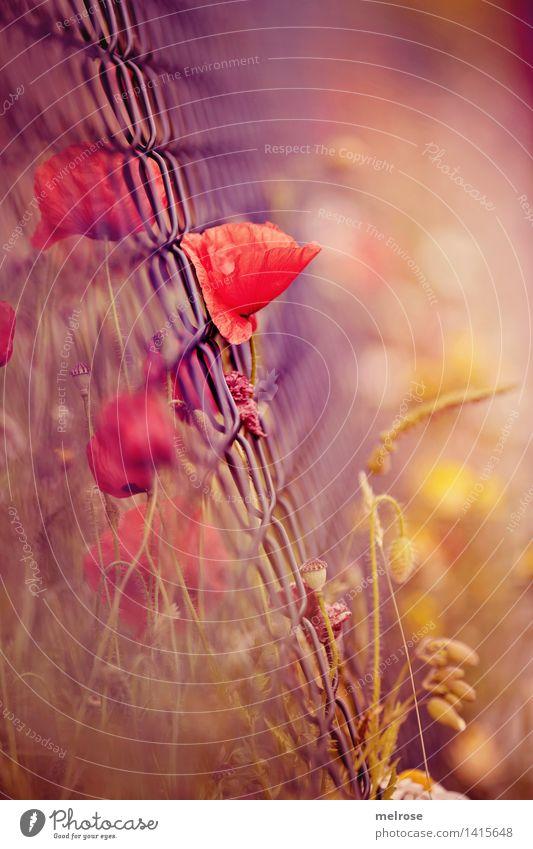 mohnsüchtig Natur Stadt Pflanze blau Sommer Blume rot Blüte Gras Stil Stimmung Design Feld Wachstum leuchten elegant
