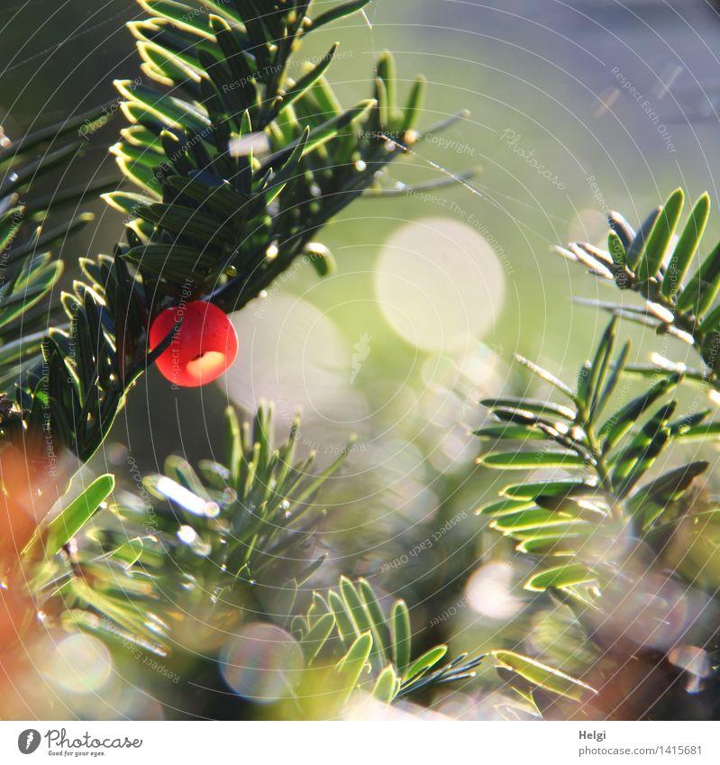 Helgiland II | roter Samenmantel... Umwelt Natur Pflanze Herbst Schönes Wetter Sträucher Grünpflanze Eibe Beeren Konifere Tannennadel hängen leuchten Wachstum