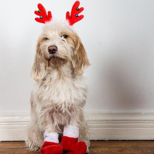 Wie? Du sollst der Weihnachtsmann sein? Hund Tier sitzen warten beobachten niedlich Neugier Wachsamkeit Haustier Vorfreude frech Kostüm Karnevalskostüm
