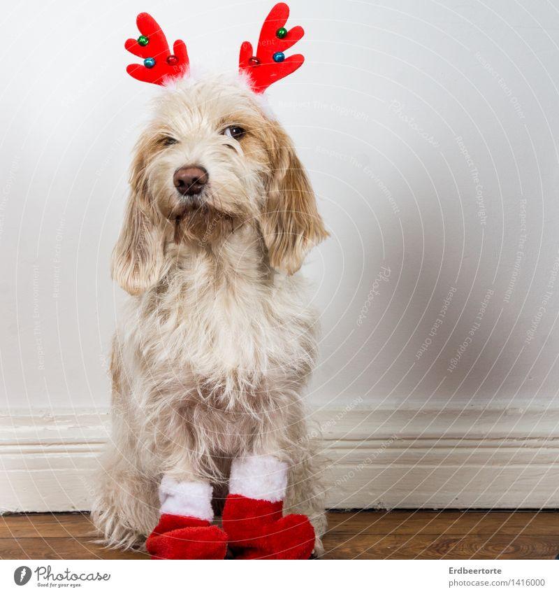 Wie? Du sollst der Weihnachtsmann sein? Tier Haustier Hund 1 beobachten sitzen warten frech Neugier niedlich Vorfreude Wachsamkeit skeptisch Weihnachten Rentier