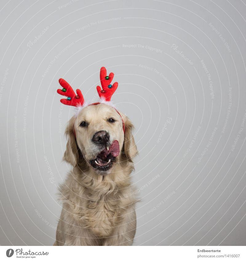 Vorfreude Tier Haustier Hund Tiergesicht Fell 1 Fressen schön lustig Freude Weihnachten & Advent Rentier Horn Golden Retriever Kostüm Verkleidung Farbfoto